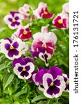 Many Pansy Flowers In Purple...