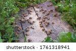 Small photo of Helix Aspersa Muller, Maxima Snail, Organic Farming, Snail Farming, Edible snails on wooden snails boards. Production of Snails. Snail Farm. Mollusk snails