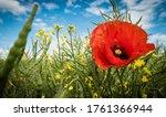 Summer Scarlet Poppy Flowers...