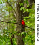 Red Bird On Limb With Lots Of...
