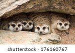 portrait of meerkat on the rock ... | Shutterstock . vector #176160767