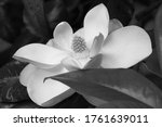 Magnolia Flower In Black And...