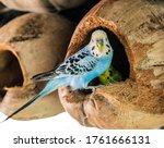 Budgerigar Australian Parakeet...