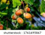 Acorns Fruits On Oak Tree...