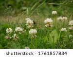 A Bee On A Clover Flower....