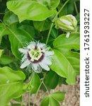 Markisa Or Passiflora Edulis...