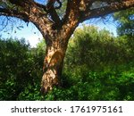 Trunk And Spreading Branches Of ...