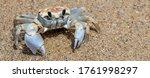 Crab Sand Beach Crab Close Up....