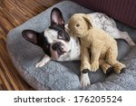 Stock photo french bulldog with teddy bear 176205524