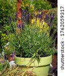English Lavender  Lavandula...