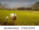 Sheep And Lamb In Golden...