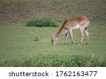 A Red Lechwe  Grazes In A...