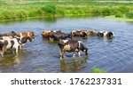 Cows Wade Cross The River In...