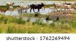India Zebu Cows In Summer Rive...