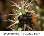 Velvet Ant On A Cholla Branch