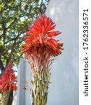 Candelabra Aloe  Ferox Aloe ...