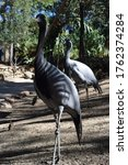 Small photo of A vertical shot of two Demoiselle Crane standing in the zoo