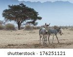 Somali Wild Ass  Equus...