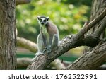Cute Lemur On A Branch
