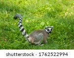 Lemur Monkey In The Grass