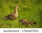 A Duck And Its Babies In The...