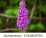Common Purple Foxglove On The...