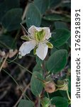 Small photo of Capper flower with its leaf and buds as background.Selective focus