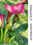 group of purple calla lily in... | Shutterstock . vector #176299661