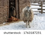 Fluffy Sheep In A Snowy...