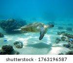 Green Sea Turtle Swimming Above ...