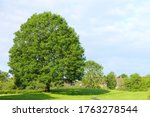 Scenic View Of A Large Ash Tree ...