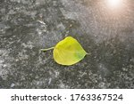Golden Bodhi Leaf On Ground...