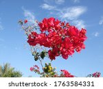 Bright Pink Bougainvillea...