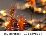 The Insectivorous Plant Is A...