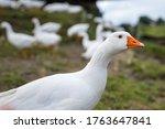 Portrait Of Domestic Goose ...