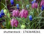 Fritillaria Meleagris Is A...