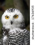 Snow Owl Portrait