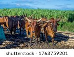 Zebu Mules Bulls Working On...
