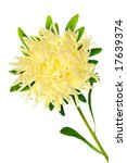 pale yellow aster isolated on... | Shutterstock . vector #17639374