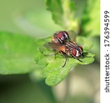 Small photo of two muscidae insects mating on the green leaf in the wild