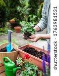 Woman Planting Geranium Flowers ...