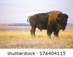 buffalo grazing on range ... | Shutterstock . vector #176404115
