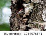 Cute Woodpecker Bird Peeking...