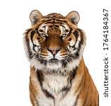 Staring Tiger's Head Portrait ...