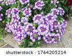 Verbena Flower In The Park