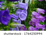 Delicate Blue Bell Flowers On...