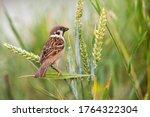 Curious Eurasian Tree Sparrow ...
