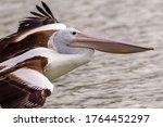 A Close Up Of Pelican In Flight ...