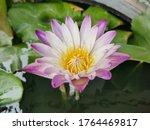 Nymphaea Lotus Linn Blooming ...