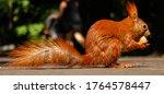 Sciurus Vulgaris Profile View....